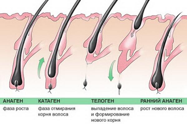 Фазы роста волос и ресниц