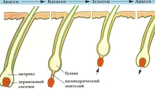 На фото – схематичный жизненный цикл и строение ресниц
